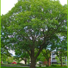 Red Oak east of Bartlett Hall. Gift of Class of 1900. UMass Amherst: Campus Trees