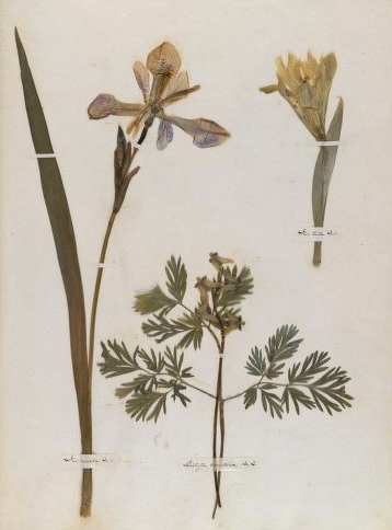 A page from Emily Dickinson's Herbarium
