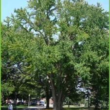 Katsura tree east of Bartlett Hall. UMass Amherst Physical Plant: Campus Trees
